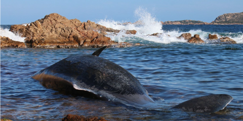 Whale washed ashore in Sardinia with plastic in stomach