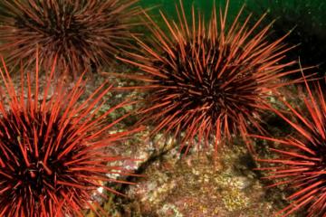 Sea Urchin